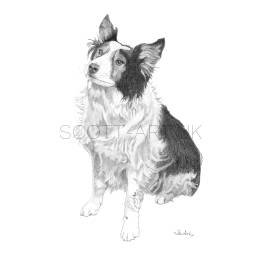 Border Collie - Sam