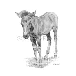 New Forest Foal A4 Print