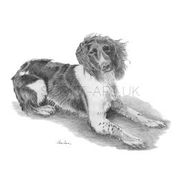 "Springer Spaniel Laying - ""Tess"""