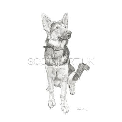 Alsatian - Bugsy